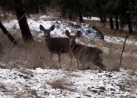 Two of many deer that can often be viewed on Knox Mountain.