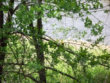 Western Tanager Okanagan River 20090527_65 [1280x768]