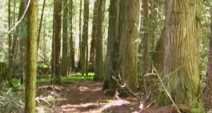 Cedar Trees on Mission Creek near mile zero of the High Rim Trail