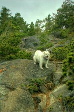 My dog & I taking the rugged route to the petroglyphs in East Sooke Park, BC.