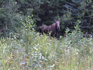 cow moose at Armstrong Chalet