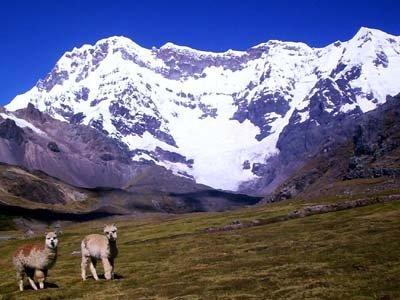 Alpacas on the Ausangate Circuit, Peru